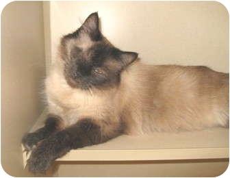 Siamese Cat for adoption in Mesa, Arizona - Carmella