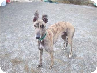 Greyhound Dog for adoption in Roanoke, Virginia - Nouncer