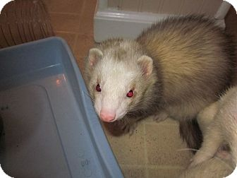 Ferret for adoption in South Hadley, Massachusetts - Barney
