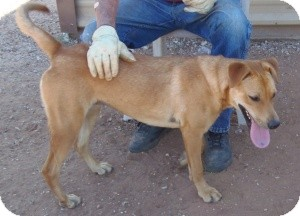 Labrador Retriever Mix Dog for adoption in Post, Texas - Chloe