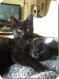 Domestic Shorthair Kitten for adoption in Chicago, Illinois - Remy
