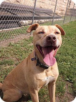 Labrador Retriever/Mountain Cur Mix Dog for adoption in Fort Riley, Kansas - Nova