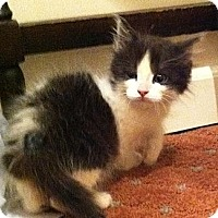 Adopt A Pet :: Louie - Harriman, NY, NY