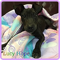 Adopt A Pet :: Lucy Hope - Hollywood, FL