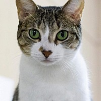 Domestic Shorthair Cat for adoption in Baton Rouge, Louisiana - Liberty