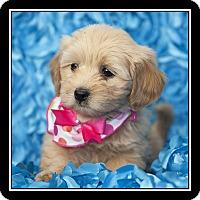 Adopt A Pet :: Adele - San Diego, CA