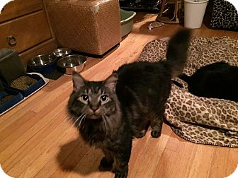 Maine Coon Cat for adoption in Ronkonkoma, New York - Winston