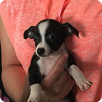 Adopt A Pet :: Wall-e - Santa Ana, CA
