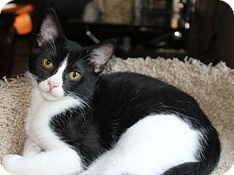 Domestic Shorthair Kitten for adoption in Marietta, Georgia - Gizmo