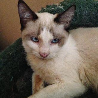 Snowshoe Kitten for adoption in Austin, Texas - Babydoll