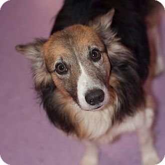 Sheltie, Shetland Sheepdog/Corgi Mix Dog for adoption in New Martinsville, West Virginia - Buddy