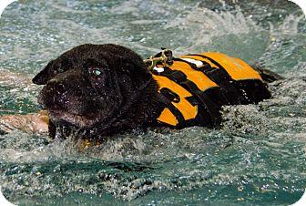 Mastiff Mix Dog for adoption in Midlothian, Virginia - Sake