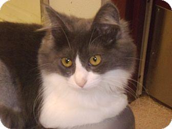 Domestic Mediumhair Cat for adoption in Muscatine, Iowa - Angela