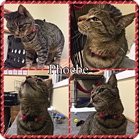 Domestic Shorthair Cat for adoption in Gunnison, Colorado - Phoebe