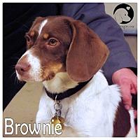 Adopt A Pet :: Brownie - Novi, MI