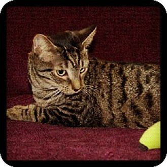 Domestic Shorthair Cat for adoption in Great Mills, Maryland - Sailor