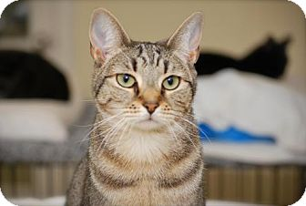 Domestic Shorthair Cat for adoption in Trevose, Pennsylvania - Hannah