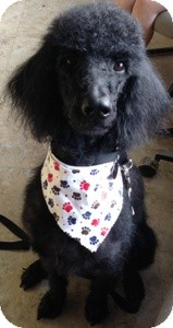 Poodle (Standard) Dog for adoption in Dover, Massachusetts - Lance-Donations Needed