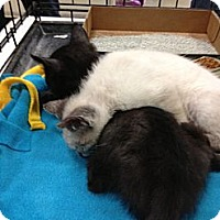 Adopt A Pet :: Simon and Simone - Pittstown, NJ