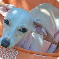 Adopt A Pet :: Bella - Yorba Linda, CA