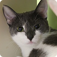 Adopt A Pet :: Eve Cool Cat - Chicago, IL