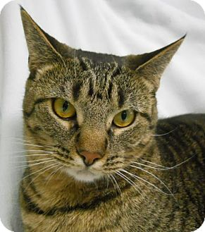 Domestic Shorthair Cat for adoption in Greenville, Illinois - Toffee