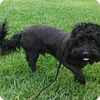 Adopt A Pet :: BooBoo - Las Vegas, NV