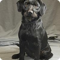 Standard Schnauzer/Terrier (Unknown Type, Medium) Mix Dog for adoption in Crescent, Oklahoma - Frannie