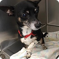 Chihuahua Dog for adoption in Westminster, California - Quesadilla