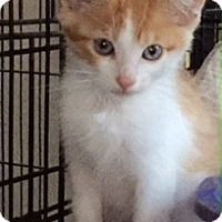 Domestic Mediumhair Kitten for adoption in McKinney, Texas - Michael