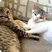 Domestic Shorthair Kitten for adoption in Brooklyn, New York - Irresistible baby bros Ziggy &Zanni!!