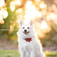 Eskimo Dog Dog for adoption in El Cajon, California - Pretty