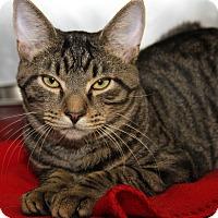 Domestic Shorthair Cat for adoption in Marietta, Ohio - Eddie (Neutered)