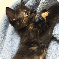 Adopt A Pet :: Starlet - Oviedo, FL
