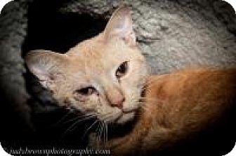 Domestic Shorthair Cat for adoption in Wellesley, Massachusetts - Aaron