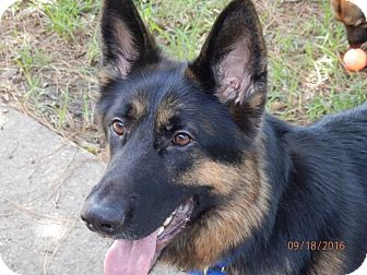 German Shepherd Dog Mix Dog for adoption in Houston, Texas - Krieger