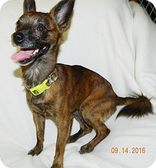 Chihuahua Mix Dog for adoption in Umatilla, Florida - Little Man