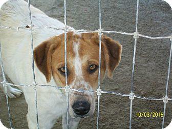Australian Shepherd/Blue Heeler Mix Dog for adoption in Mexia, Texas - Rolly