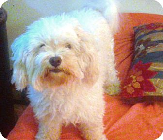 Maltese Mix Dog for adoption in Turlock, California - Gianni