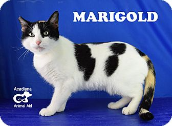 Calico Cat for adoption in Carencro, Louisiana - Marigold