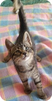 Domestic Shorthair Kitten for adoption in Woodstock, Ontario - Oswald