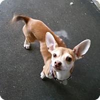 Adopt A Pet :: Shadow - Lowell, MA
