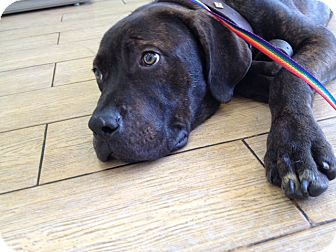 Mastiff Mix Puppy for adoption in Los Angeles, California - Brutus