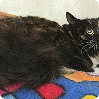 Domestic Longhair Cat for adoption in Conroe, Texas - Rhianna