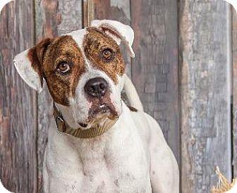 American Bulldog Mix Dog for adoption in Louisville, Kentucky - Zane