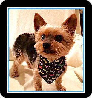 Yorkshire Terrier Nj Newfield, NJ - ...
