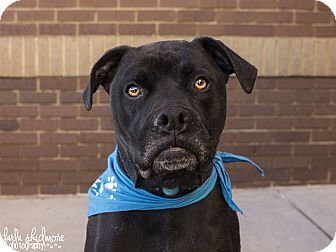 Boxer/Labrador Retriever Mix Dog for adoption in Mooresville, North Carolina - Duke