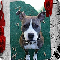Pit Bull Terrier Mix Dog for adoption in Crown Point, Indiana - Leslie