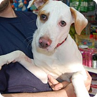 Adopt A Pet :: Smoothie - Brooklyn, NY