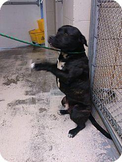 Pit Bull Terrier Mix Dog for adoption in Thomaston, Georgia - JR